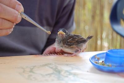 Sperling - Futter, Fütterung
