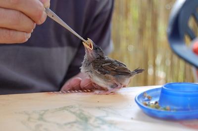 Spatz, Sperling - Futter, Fütterung