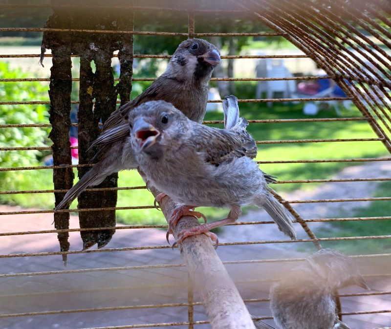 Jungvögel