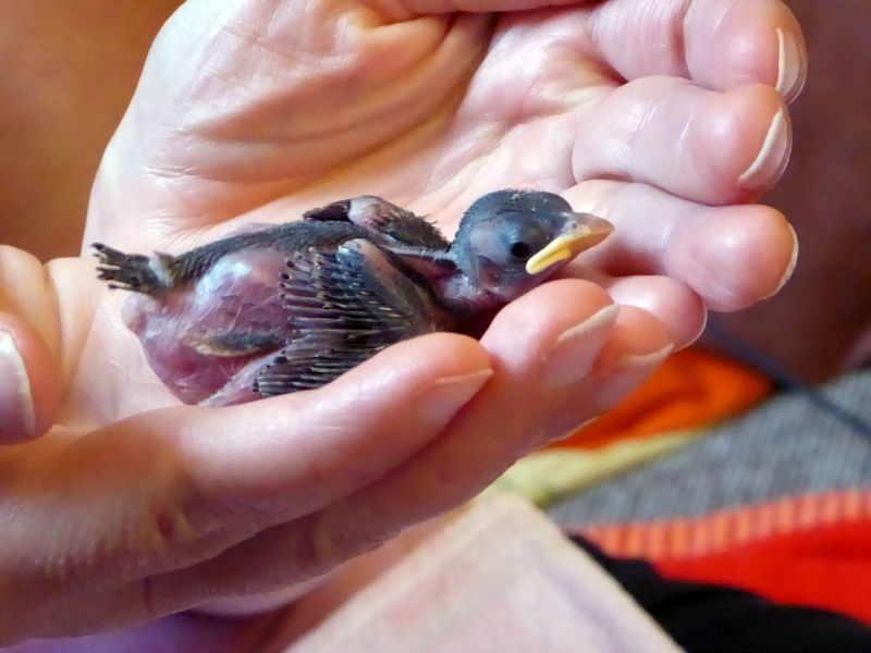 Nestling